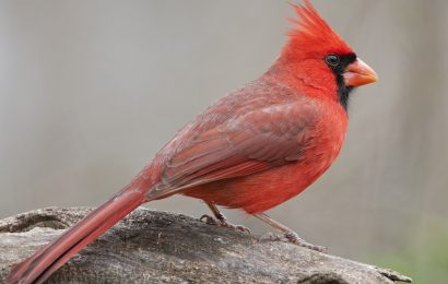 What It Means When You See a Red Cardinal